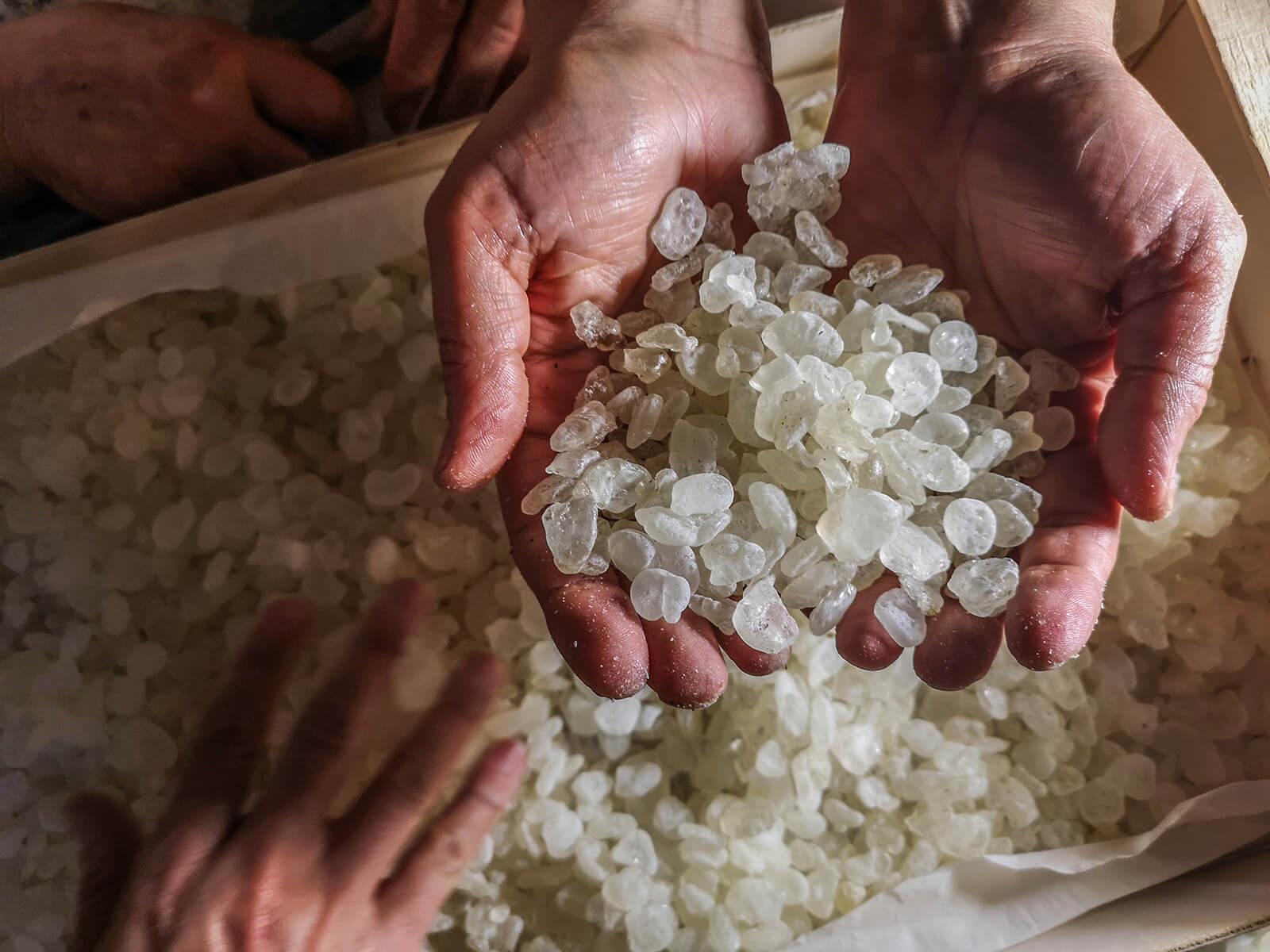 Chios Mastiha Cultivation - Cleaning Chios Mastiha Tears