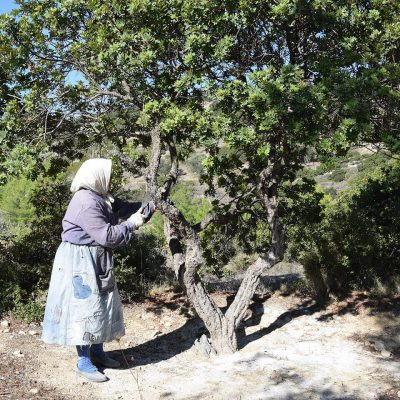 Old woman doing kentos on Chios Mastiha Tree