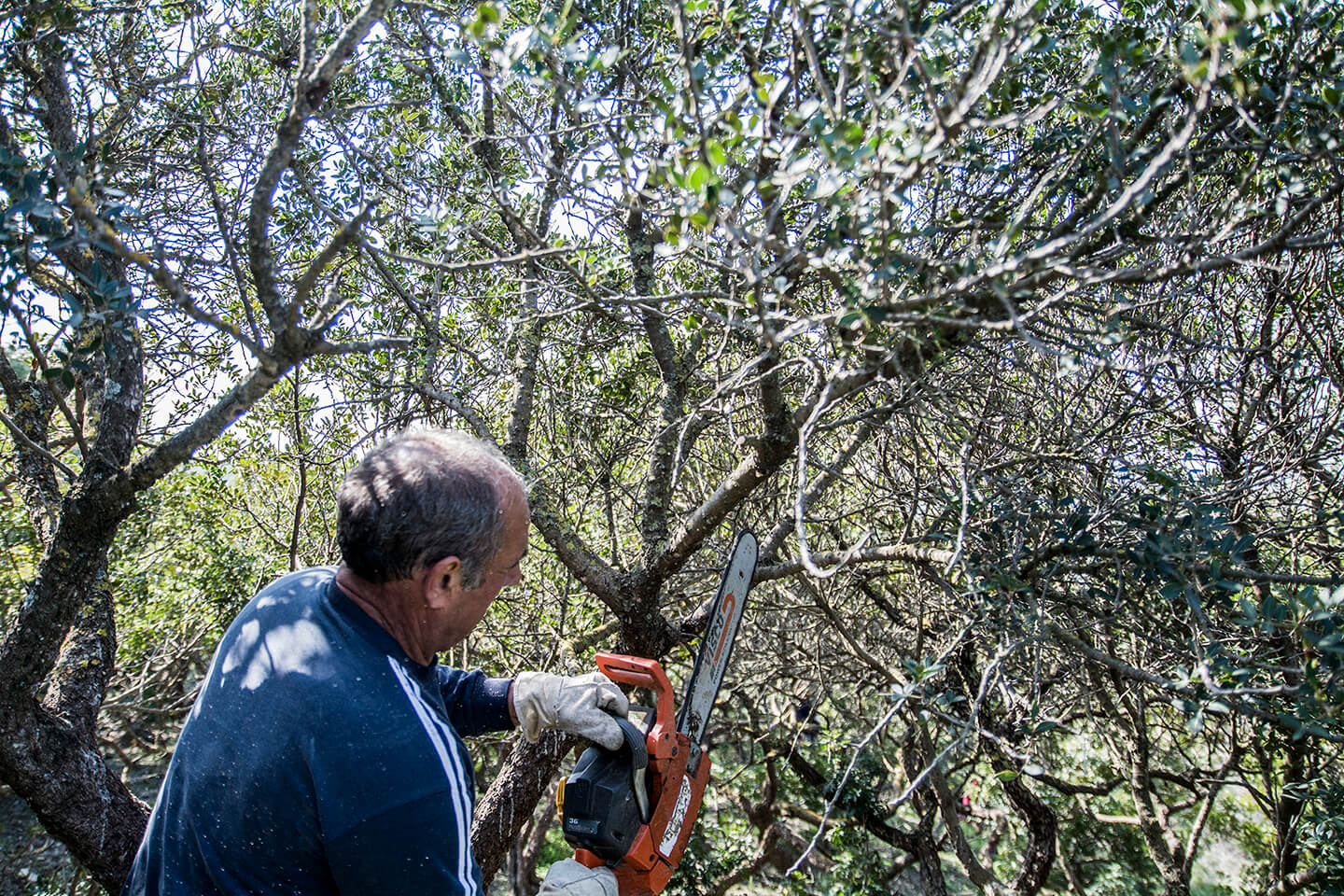 Pruning process of mastiha trees