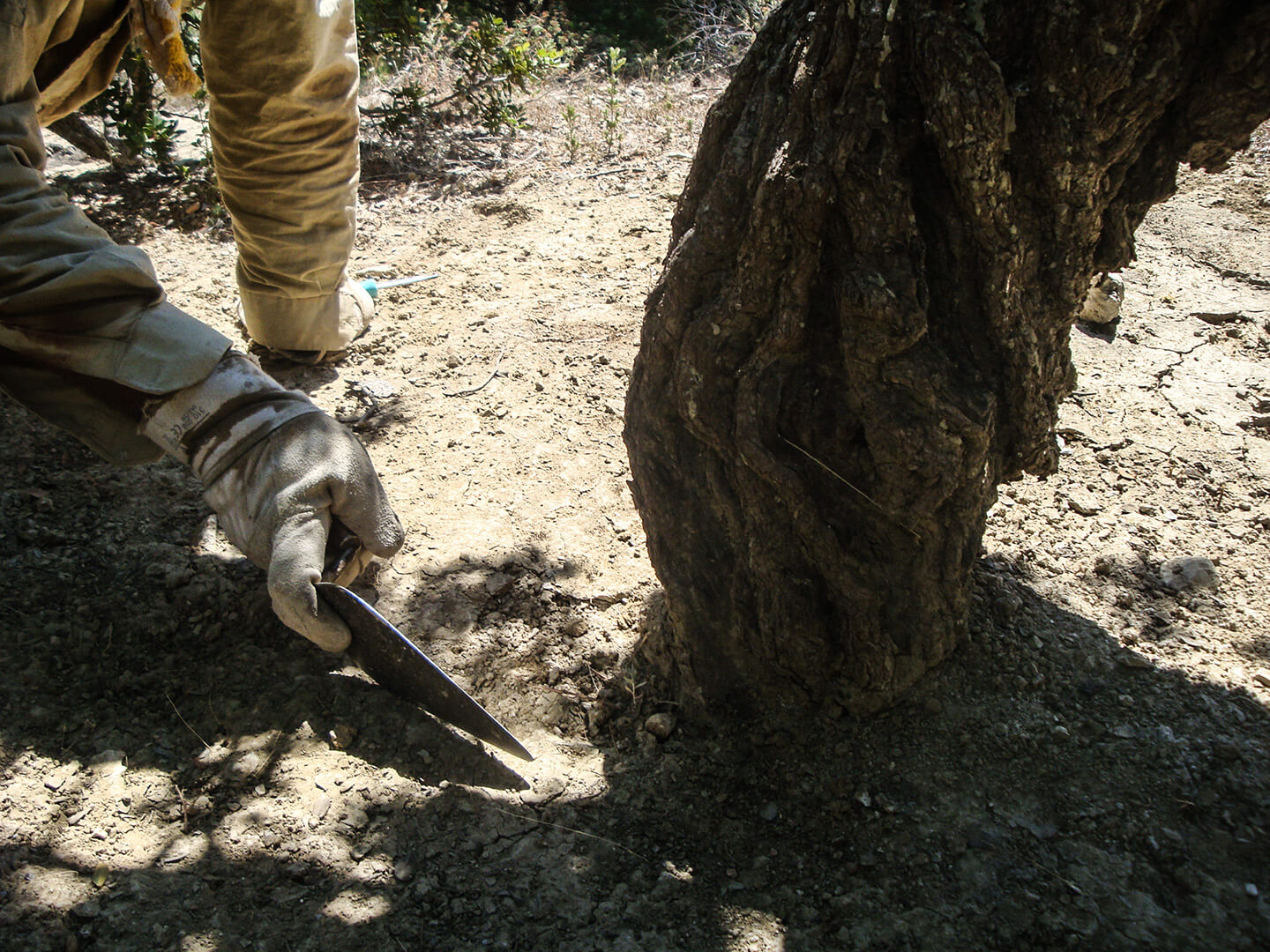 Soil cleaning process of mastiha trees