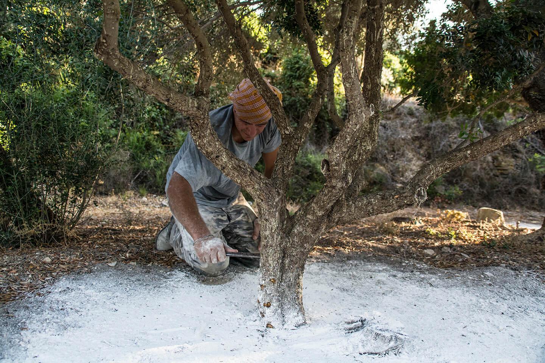 Kentos Of Chios Mastiha Tree